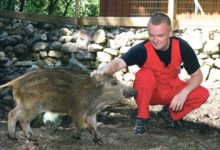 Keskkonnaamet ei luba Muhus leitud metssigu kodus hoida