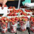 Kui eelmisel nädalal sai turul maasikaid osta väga mitmelt müüjalt, siis eile käis tõsine maasikaäri vaid ühes letis ning ostjatest moodustus koguni mitmeks tunniks järjekord.