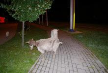 Kitsetall peidab end Kuressaare tänavatel