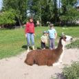 Tänavune turismihooaeg on näidanud, et Saaremaast huvitatud inimesed on üha sagedamini otsustanud puhata looduskaunites paikades ja linlastest lapsevanemad viivad oma võsukesed loomadega sõprust sobitama just taludesse.