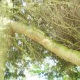 Orissaare vallas Viira peakraavi ääres kasvab omapärase võraga kuusepuu, millel sirgub tüve küljest taeva poole pisem liigikaaslane.