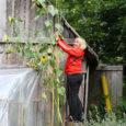 Kaarma vallas Uduvere külas Põlma talus kasvab kolme- ja poolemeetrine päevalill, mille kõrguse mõõtmiseks tuli perenaisel redel appi võtta.