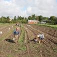 """Kui möödunud aastal tegi kuivus Saaremaal kartuli kasvule palju kurja, siis tänavuse saagiga jäävad põllumehed rahule. """"Tuleb ikka enam-vähem, parem kui mullu,"""" ütles Saaremaa suurim kartulikasvataja Guido Lindmäe, kelle hinnangul […]"""