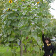 Kärla vallas Paevere külas võib Annika Väälma sõna otseses mõttes päevalillesalus jalutada. Juunis maha pandud kaheksa päevalille on kasvanud kõik üle kolme meetri kõrguseks, kõrgeim neist ulatub praegu 4 meetri ja 30 sentimeetrini. Samas pole see taim oma õisikut veel täielikult avanud.