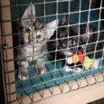 MTÜ Saaremaa Lemmikloomade Turvakodu on sunnitud Kaarma vallas Aula-Vintris asuva ainsa kasside hoiukodu selleks talveks sulgema, kuna seal pesitsev viirus teeb loomade eest hoolitsemise väga keeruliseks.