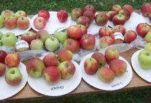 Õunalaadal käis mitusada inimest