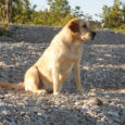 Eelmisel nädalal matsid omanikud koera, keda tundmatu kaabakas või suisa mitu jõhkardit septembri keskpaigas Kõinastu laiul peksid ja õhupüssist halvavalt kubemesse lasid. Külaelanike sõnul oli labrador Loona väga sõbralik ning juhtunu tekitab õudu.