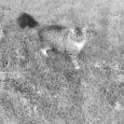 Orissaare elanikku Marga Koppelit tabas suur üllatus, kui tema juba kadunuks peetud kass Pätu leiti üles kohast, mida naine oli unes näinud.
