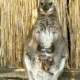 Nautse küla Laasu talu loomapere suurenes umbes kuus kuud tagasi, kui kaks emakängurut kumbki poja ilmale tõi. Möödunud neljapäeval oskasid eksootilised olevused pererahvast aga üllatada ja segadussegi ajada.