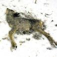 Paksu lumega ja keskmisest pikem talv on paljude metsloomade eluküünla kustutanud. Metsa all võib näha nii mõnegi hukka saanud looma korjust.