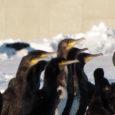Kaluritega kala pärast võitlevate kormoranide arvukuse piiramine on keeruline ülesanne ning kindel meetod nende arvukuse vähendamiseks puudub, kinnitas keskkonnaministeerium kalavarude vähenemise pärast muretsevatele Saaremaa kaluritele.