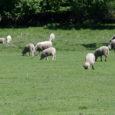 """Keskkonnateabe keskuse ulukiseire osakonna juhataja Peep Männili sõnul on hundid Eestis murdnud tänavu vähem lambaid kui mullu. """"Kui vaadata Eestit tervikuna, siis ei ole lammaste murdmisi nii palju kui eelmisel […]"""
