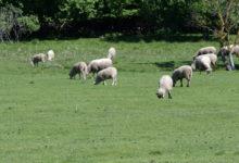 Saaremaa lambaliha on Eesti esindustooraine