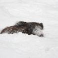 Oma Saar kirjutas eelmise aasta lõpul Kuressaare koolipoisist Karl Eik Rebasest, kel õnnestus Sõrves jäädvustada pildile lumevalli kinni jooksnud metssiga.