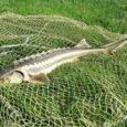 Eelmisel nädalal jäi Ruhnu rannakalurite võrku kala, mida sealkandis varem nähtud pole – Vene tuur.