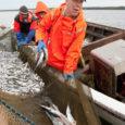 Rannakalurite jaoks on hülged nuhtlus. Vaatepilt, mis avaneb kastmõrdadest tuulehaugi nõudmas käies, paneb kogenud kaluridki rääkima sõnadega, mis trükimusta ei kannata. Hülged ajavad mõrdadest välja või söövad seal ära rohkem kala, kui kalur merest ammutab.