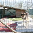 Kuressaare linn ja Kaarma vallavalitsus kuulutasid mai keskel välja konkursi leidmaks koostööpartnerit, kes oleks huvitatud hulkuvatele loomadele varjupaigateenuse pakkumisest. 31. maiks, mil konkursi tähtaeg kukkus, ei laekunud aga paraku mitte ühtegi pakkumist.