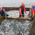 Kutselise kalapüügi kalapüügiõiguse tasumäärad jäävad 2015. aastal Saare maakonnas enamiku püügivahendite puhul ligilähedaselt praegusele tasemele, selgub valitsuse määruse eelnõust. Eesti kalurite liidu juhatuse esimees Mart Undrest ütles, et kõige enam […]