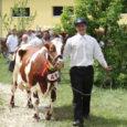 """Eile Upal peetud kuueteistkümnendal saarte kaunimate lehmade näitus-šõul """"Saarte viss 2010"""" võitsid Kõljala põllumajandusliku osaühingu (POÜ) piimaandjad koguni neljas võistlusklassis. Vissiroseti sai eile kaela seitse lehma. Autasustati ka teisele ja kolmandale kohale tulnud loomi."""