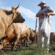 Eesti suurimate lihaveisekasvatajate hulka tõusnud Saaremaa Lihatööstuse omanik Vjatšeslav Leedo plaanib 2015. aastaks suurendada veistekarja neli korda ehk 5000 loomani. Tegemist oleks ülekaalukalt suurima lihatõugu veiste karjaga Eestis.
