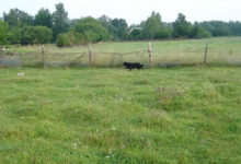 Hulkuv koerakari murrab lambaid