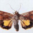 """Nädal tagasi püüdis Sõrve linnujaama harrastusornitoloog Mati Martinson valguspüünisega huvitava suure liblika, millist ta enne näinud polnud. """"Sirutasin ta ära ja Teet Ruben (liblikauurija – toim) määras selle eile ära ning selgus, et tegemist on esmaleiuga Eestis,"""" kirjutab Martinson Sõrve linnublogis."""