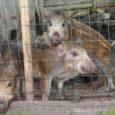 """Poolteist aastat tagasi Muhus leitud metsseapõrsale, nüüdseks suureks kasvanud loomale otsitakse uut kodu Kuldse Börsi kaudu. """"Nad on ikka juba üle puusa,"""" ütles Muhus Vanatoa turismitalu pidav Erkki Noor Saarte Häälele, lisades, et soovib 1,5-aastase kesiku, kuldi müüa tõuloomaks."""