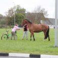 Esmaspäeval Kuressaares Kihelkonna ringtee juures traavinud hobune hirmutas mitut autojuhti, kes andsid loomast teada politseile. Politseinikud selgitasid välja omaniku, kes plehku pistnud suksu koju tagasi toimetas.