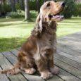 Asukülas Männi talu õuel lippab kõrvade lehvides ringi üks pruun koer, nimeks Fänny. Tõu poolest Inglise kokkerspanjel. Selline kurbade silmadega ja enamikus inimestes heldimust tekitav. Aga Fänny pole ainult lemmikloom, vaid ka Saaremaa parim verejäljeajaja.