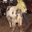 Kümmet Saaremaa piimatootjat ühendava Saaremaa põllumeeste liidu liikmed kinkisid Valjala ühistule oktoobris puhkenud tuleõnnetuses hukkunud lüpsilehmade asemele uued loomad.