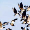 Möödunud aastal tekitasid kaitsealused loomad-linnud Saaremaa põllumeestele majanduslikku kahju ligi 7630 euro eest, Eestis tervikuna ulatub kahju ligi 197 000 euroni.