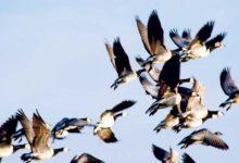 Looma- ja linnukahjud ulatusid Saaremaal 7600 euroni