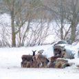 TV3 Saaremaa korrespondendil Peeter Kukel õnnestus mõne päeva eest ühel krõbekülmal varahommikul Koimlas filmida ja pildistada korraga kümneid hirvi, kes maiustasid talumeeste silorullide kallal. Kukk ütles Saarte Häälele, et kokku võis hirvi olla umbes poolsada.