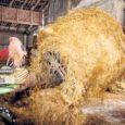 Salme vallas piima tootmisega tegelev Kiilut OÜ pöördus keskkonnaameti poole kahjunõudega hirvede tekitatud kahju hüvitamiseks.