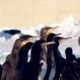 Sarnaselt ülejäänud Läänemere asurkonnale langes ka Eestis möödunud aastal tõenäoliselt eelkõige karmide talveolude tõttu kormoranide arvukus, selgub Eesti ornitoloogiaühingu koostatud kormoranide seireprojekti aruandest.