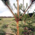 Asuka elanik Udo Kuusk ei suutnud tagasi hoida imestust, kui avastas, et hirved on hakanud lisaks lehtpuudele ka okaspuude tüvesid koorest puhtaks sööma.