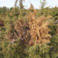 Inimesed on küsinud, kas loopealsete taastamise käigus Saaremaale iseloomulikud kadakad hävimisohtu ei satu. Seda ohtu ei ole. Kadakale Saaremaal meeldib, tema populatsioonid on väga elujõulised ja kunagistele vanadele kadastikele on […]