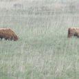 Mustjalas asuv lihaveistekasvataja OÜ Ranna-Villa alustas nädalavahetusel loomade karjatamist Loode tammiku linnuvaatlustorni juures Loodenina rannas.