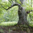 Pärnapuu leiti Torgu vallas Iide külas muistse rauasulatuskoha otsingute käigus ning üks kaevetöödel osaleja mõõtis rinnakõrguselt pärna ümbermõõduks 5,4 meetrit.