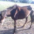 Eesti loomakaitse seltsile (ELS) laekunud info kohaselt avastati Orissaare vallas Maasi külas hiljuti hobune, kes nägi tugevalt lahjunud välja ja pani loomakaitsjad veterinaarametilt abi otsima.