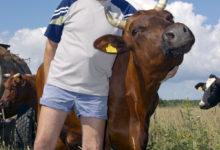 Pensionärist lehmapidaja kahekordistas piimatoodangut