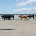 Kaarma vallas asuva Kasti küla mereranda on põlvkondade viisi kasutatud korraga nii suplemiseks kui ka loomade karjatamiseks. Võitluses rannaliiva pärast on peale jäämas veised.