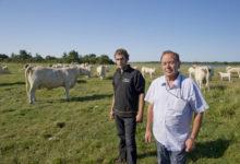 Saaremaa põllumeestele tulevad appi asendustalunikud mandrilt