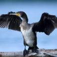 """Kalameestele palju meelehärmi põhjustanud kormoranide arvukuse vähendamise on inimese kõrval oma mureks võtnud ka merikotkad ja hõbekajakad. """"Merikotkas eelistab suuri kormoranipoegi, aga eks nad võtavad vanalinde ka,"""" ütles Eesti maaülikooli […]"""