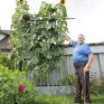 Kuressaares Kevade tänaval asuva eramaja hoovis on kuuri seina ääres kasvavad päevalilled end nii kõrgele taeva poole sirutanud, et nende peremees, 186 cm pikkune Ado Arge, on lilledest pea poole lühem.
