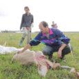 Saaremaa lambakasvatajad tõdevad, et kui huntide rünnakud nende lammastele jätkuvad, kaovad kas karjad või muutub lambapidamine majanduslikult mõttetuks.