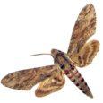 Septembri keskel möllanud tormid tõid Saaremaale Põhja-Aafrikast Eestis haruldase liblikaliigi kassitapusuru, kes jäi püünistesse nii Sõrves kui ka Võhmal.