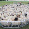 Eesti maaülikooli värske uuringu tulemuste põhjal võib väita, et vägapaljudes Saaremaa lambakarjades on levinud lammaste mao-sooletraktiparasiidid, mis mõjutavad loomade tervislikku seisundit ning pärsivad lambakasvatuse tulukust. Eesti saartel lammastel seedekulgla parasiite […]