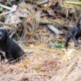Valjala valla Ariste küla elanikud saatsid vallavalitsusele ühise kaebuse, et külas elav ja mitut koera pidav naine laseb oma loomadel hulkuda. Koerte omaniku sõnul on koerad tänaseks kinni pandud.