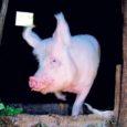 Kui Hiiumaal tuleb iga tuhande hiidlase kohta üks kodusiga, siis pea igal saarlasel on oma siga. Lääne Elu nentis, et kodusigade arv Hiiumaal on marginaalne võrreldes teiste maakondadega, sest teadaolevalt […]